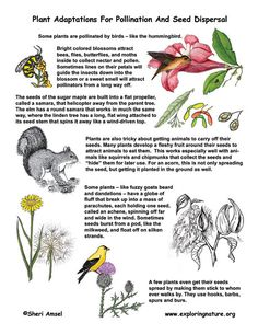Plant Adaptations For Pollination And Seed Dispersal; see experiment on website 4th Grade Science, Science Biology, Elementary Science, Science Classroom, Teaching Science, Science Education, Life Science, Nature Activities, Science Activities For Kids