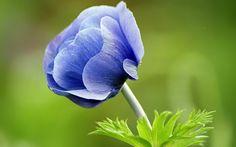 Google Image Result for http://www.zastavki.com/pictures/1920x1200/2010/Nature_Flowers_Blue_flower_020642_.jpg