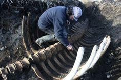 Extinct Stellar's Sea Cow Fossil Found In Kamchatka Region In Russia