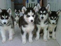 siberian huskies - absolutely LOVE them!