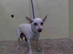 SUPER URGENT 3/8/14  Manhattan Center    LUCIE - A0993390   I am an unaltered female, white Chihuahua - Smooth Coated mix.   The shelter staff think I am about 14 years old.   I weigh 10 pounds.   I was found in NY 10468.   I have been at the shelter since Mar 08, 2014.  https://www.facebook.com/Urgentdeathrowdogs/photos_stream +++++14 YEARS, VERY SCARED++++++