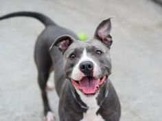 ANDREA - A1076103 - - Brooklyn TO BE DESTROYED 06/13/16 **ON PUBLIC LIST** **AVERAGE RATED – MULTIPLE TIMES ON LIST ** Vivacious Andrea wiggled her way into the ACC of NYC as a stray. This beautiful four year old Pitty mix was easy to handle with a wagging tail, a dog who enjoyed the attention of staff. Andrea did great on her behavioral SAFER. She easily scored a Average rating and unfortunately became a victim of the shelter cold. The ACC has listed Andrea to be de