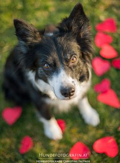 valentine's day border collie
