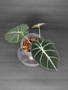 Rare Alocasia Black Velvet For Sale (US) - Plantly Alocasia Plant, How To Grow Lemon, Indoor Plants, Indoor Gardening, Build A Greenhouse, Rare Plants, Growing Tree, Black Velvet, Decor Crafts