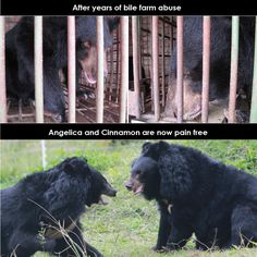 This time last year these two were close to death on a bear bile farm in Vietnam. What a difference a year, a rescue and lots of love makes. We couldn't do this without you