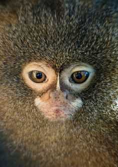 pygmy marmoset face  ': )