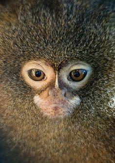 pygmy marmoset face :)