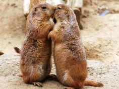 Des marmottes coquines