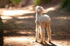 """My sheep know my voice."""
