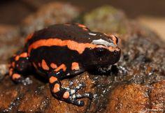 banded rubber frog, Phrynomantis bifasciatus