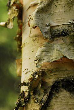The feel of peeling birch bark brings me back to my childhood. <3