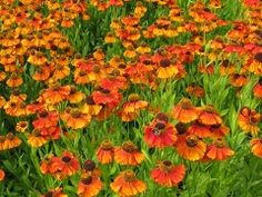 Sneezeweed - Helenium Autumnale Stock Photo - Image of field, color: 20327450 Korn, Photo Editing, Royalty Free Stock Photos, Flowers, Plants, Outdoor, Color, Image, Butterflies