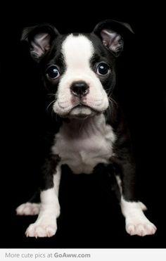 Beautiful Boston Terrier puppy