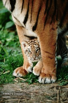 Yooniq images - Bengal Tiger Cub Between Its Mother's Legs