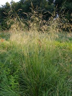 Deschampsia cespitosa - Ruwe smele