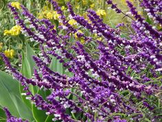 Salvia is a great option if you're looking for purple flowers in October. They feel so velvety! Dry Garden, Love Garden, Landscaping Plants, Front Yard Landscaping, Mexican Sage, October Flowers, Sage Plant, Fall Wedding Flowers, Autumn Wedding