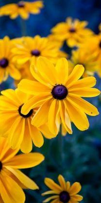 black-eyed daisy