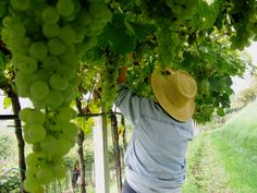 This season was very uneven due to the weather trend, therefore we had to select even more the grapes to maintain a good quality's production. #soave #wine #verona #italian #style #holiday #harvest #ideas