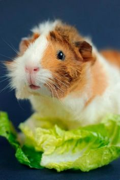 Abyssinian guinea pigs can be bolder, friskier, more playful, louder and more aggressive than other breeds.