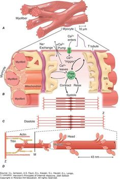 Physiology of muscles Nursing Classes, Nursing School Notes, Biology Lessons, Science Biology, Pta School, Cardiac Nursing, Exercise Physiology, Medicine Student, Muscular System