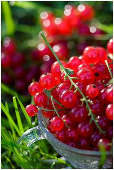 Currants: such red berries Red Fruit, Fruit And Veg, Fruits And Vegetables, Charlotte Au Fruit, Photo Fruit, Norwegian Food, Scandinavian Food, Delicious Fruit, Fruit Trees