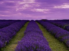 Lavender fields calm the soul and create serenity with the lush and frothy sky!