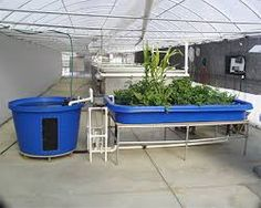Plan Your Aquaponics Garden with Fish to Plant Ratios The easiest way to calculate the size of your Aquaponics Fish to Plant Ratios: Determine how many plants, and what type you wish to grow Determine the area these plants need to grow i.e. lettuce is 30 plants per square metre Determine how much fish feed the fish need to produce the nutrients to grow a healthy crop of plants Determine...