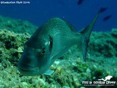 Orata - #fotosub #diving #scuba #scubadiving #immersioni #imascubadiver www.imascubadiver.com