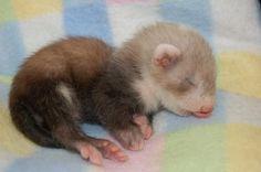 baby ferret!