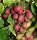 Kiwi arguta ANANASNAYA - samice, extra 2L Seeds, Fruit, Plants, Plant, Planets