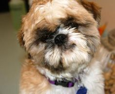 """Cowboy is an adoptable Shih Tzu Dog in Austin, TX.  ...  I want this little """"wookie"""" so bad! Just look at those eyes - they melt your heart - he needs to be loved on!"""