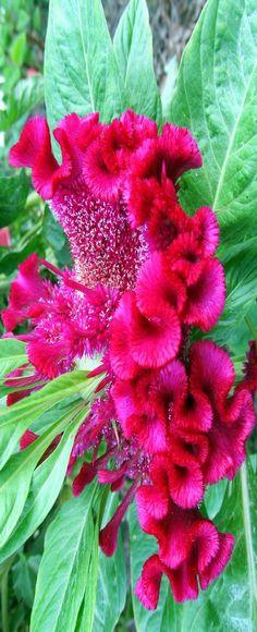 "beautiful flowers""celosia cristata"" !!!"