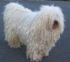puli dogs - Mozilla Yahoo Image Search Results