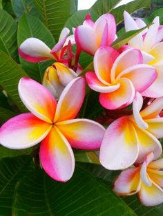 Bright pink plumeria Kauai flower, when we were there you could smell the flowers in the air just driving around the island
