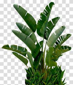 Rubber Tree Houseplant, Conifer Plants, Japanese Maple Garden, Trees To Plant, Plant Leaves, Botany Illustration, Tree Photoshop, Paradise Plant, Banana Plants