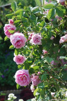 kordes roses cinderella garden roses the most. Black Bedroom Furniture Sets. Home Design Ideas