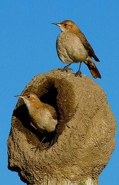 Aves do Cerrado e do Brasil: João de Barro / Birds of Cerrado and Brazil: João de Barro