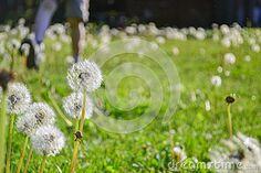 Dandelions And Boy Running In Background. Child running through dandelions outdoors in backyard