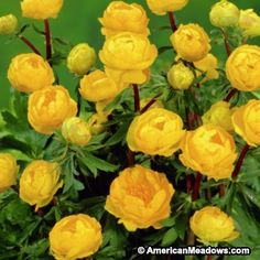 Globe Flower Orange Princess, Trollius cultorum – Globe Flower from American Meadows