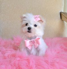 Animals - Outstanding Tiny size Maltese puppies available they are current on all shots.They are home raised puppies, all teacup Y. Yorkie Puppy For Sale, Cute Puppies, Cute Dogs, Dogs And Puppies, Yorkie Puppies, Doggies, Teacup Maltese, Teacup Puppies, Maltese Dogs