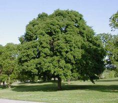 Acer saccharum- Sugar Maple tree