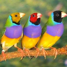 Gouldian Finches. i have Finch feeders but none of mine are this colorful.