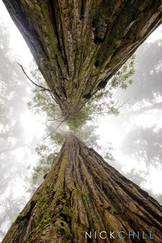 Between Giants - Giant redwoods along the coast of Northern California. Taken in the magnificent Redwood National Park. - By Nick Chill #Photography