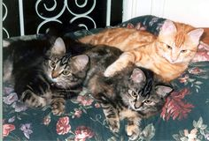 Tigga, Pebbles & Blade as kittens