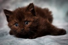 Beautiful brown kitten better known as Fudge