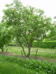 Juglans regia #tree #multitrunk #multistem www.vdberk.co.uk