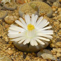 Lithops salicola flower