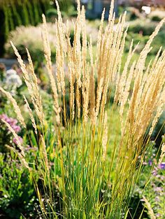 Feather Reedgrass Karl Foerster grows up to 6 ft upright