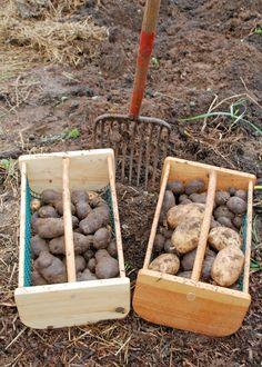 Information on growing potatoes