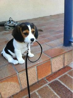 Beagle puppy waiting to be walked.